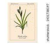 black sedge  carex nigra  ... | Shutterstock .eps vector #1431738197