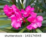 Pink Nerium Oleandes L. Flower...