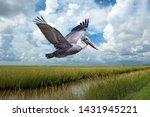 Brown pelican in flight over...