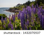 Lupine Growing On The Coast Of...
