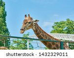 Beautiful Spotted Giraffe With...