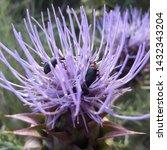 Beetles On Cardoon Flower In...