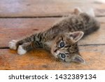 Stock photo young striped kitten resting on the wooden floor kitten after a hearty lunch 1432389134