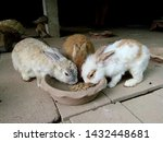 Stock photo rabbits are eating ready made food for rabbits from tray together they are grown rabbits and have 1432448681