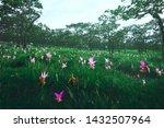 Closeup Of Siam Tulip Flower  ...