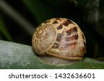 A Common Brown Garden Snail On...