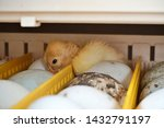 A Small Duckling Hatches From...