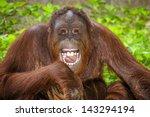 Stock photo portrait of orangutan pongo pygmaeus laughing with mouth wide open 143294194