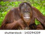 Portrait Of Orangutan  Pongo...