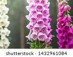 Foxglove Digitalis Plants On A...