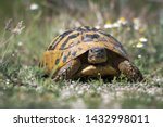 Stock photo eastern hermann s tortoise testudo hermanni boettgeri hermann s tortoises are small to medium 1432998011