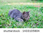 Stock photo kittens on green grass kitten looking at the victim kittens are playing on a green lawn kitten 1433105804