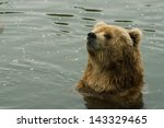 Small photo of Portrait of a Kodiak Bear (Ursus arctos middendorffi) in the water