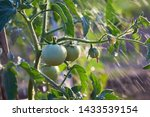 Unripe Tomatoes During Watering ...