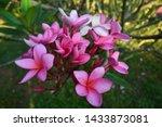 Flower Pink Teknik Bokeh  Image