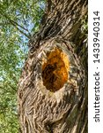 Deep Hollow Knothole  In A Tree