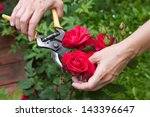Stock photo cutting red roses in the garden 143396647