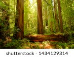 Redwood trees in  the Redwood National and State Parks (RNSP),  They are old-growth temperate rainforests located in the United States, along the coast of northern California. - stock photo