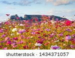 Cosmos Flower Field With...