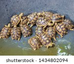 Stock photo close up babies sulcata tortoise in pool african spurred tortoise geochelone sulcata 1434802094