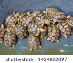 Stock photo close up babies sulcata tortoise in pool african spurred tortoise geochelone sulcata 1434802097