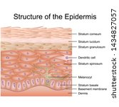 structure of the epidermis... | Shutterstock .eps vector #1434827057