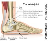 The Ankle Joint  Tendons Of Th...
