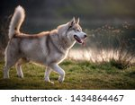Stock photo side portrait of a magnificent husky the husky has a brownish gray white coat bright blue eyes 1434864467