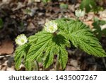 Small photo of Closeup of wild Goldenseal (Hydrastis canadensis) with multiple flowers and leaves in sunny spring forest