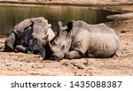 Two Rhinos Resting By Pond