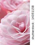 Glorious Pastel Pink Camellia...