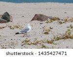 Stock photo adult herring gull larus argentatus in park germany 1435427471