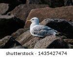 Stock photo adult herring gull larus argentatus in park germany 1435427474
