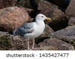 Stock photo adult herring gull larus argentatus in park germany 1435427477