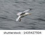 Stock photo adult herring gull larus argentatus in park germany 1435427504