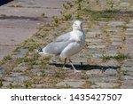 Stock photo adult herring gull larus argentatus in park germany 1435427507