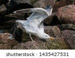 Stock photo adult herring gull larus argentatus in park germany 1435427531