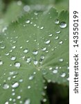 Small photo of Water pearls on leave of ladies mantle (Alchemilla mollis)