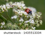 A Ladybird On White Cow Parsle...