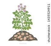 Potatoes Plant. Spud Plants...