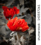 Two Red Poppies And Seed Box O...