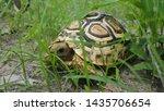 Stock photo leopard tortoise in moremi game reserve botswana 1435706654