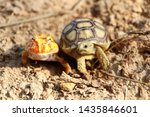 Stock photo close up baby african spurred tortoise and horned frog resting in the garden slow life africa 1435846601
