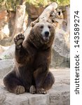 Stock photo friendly brown bear sitting and waving a paw in the zoo 143589274