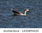 Chinese Goose Swimming In...