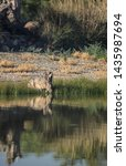 Stock photo big wild desert hare drinking pond water with one alert eye on the camera 1435987694