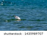Stock photo herring gull larus argentatus feeding on a dead fish believed to be a common carp cyprinus 1435989707