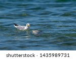 Stock photo herring gull larus argentatus feeding on a dead fish believed to be a common carp cyprinus 1435989731