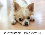 Small Chihuahua Dog With A...