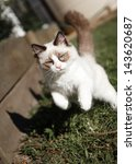 Stock photo a seal bicolor ragdoll kitten leaping and playing in a suburban backyard 143620687
